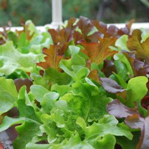 crunchy-lettuce